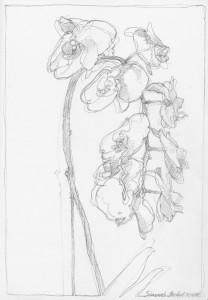Simone's_orchid